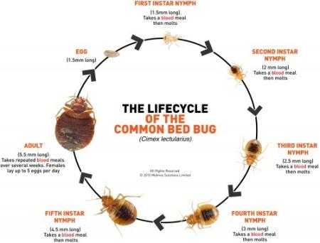 The Lifecycle of the Common Bed Bug